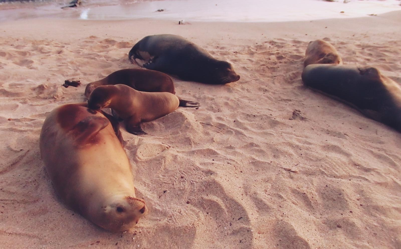エクアドルのサンクリストバル島のビーチでくつろぐアシカたち